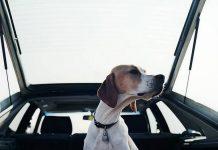 transporter un chien en voiture