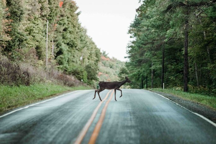 Chevreuil qui traverse la route