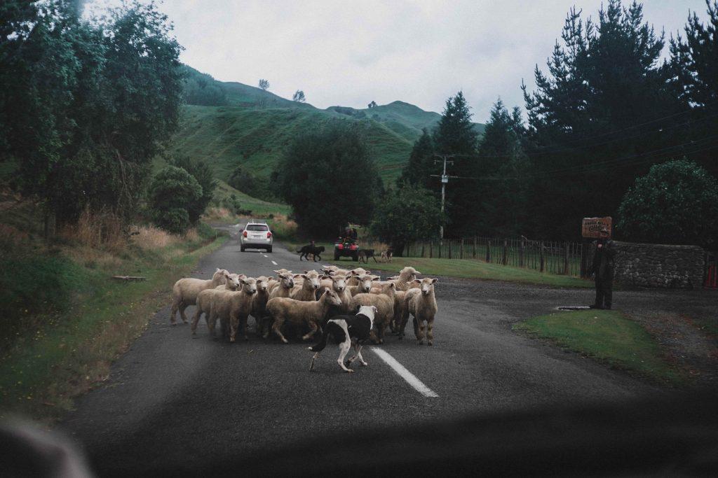 Troupeau de moutons sur la route